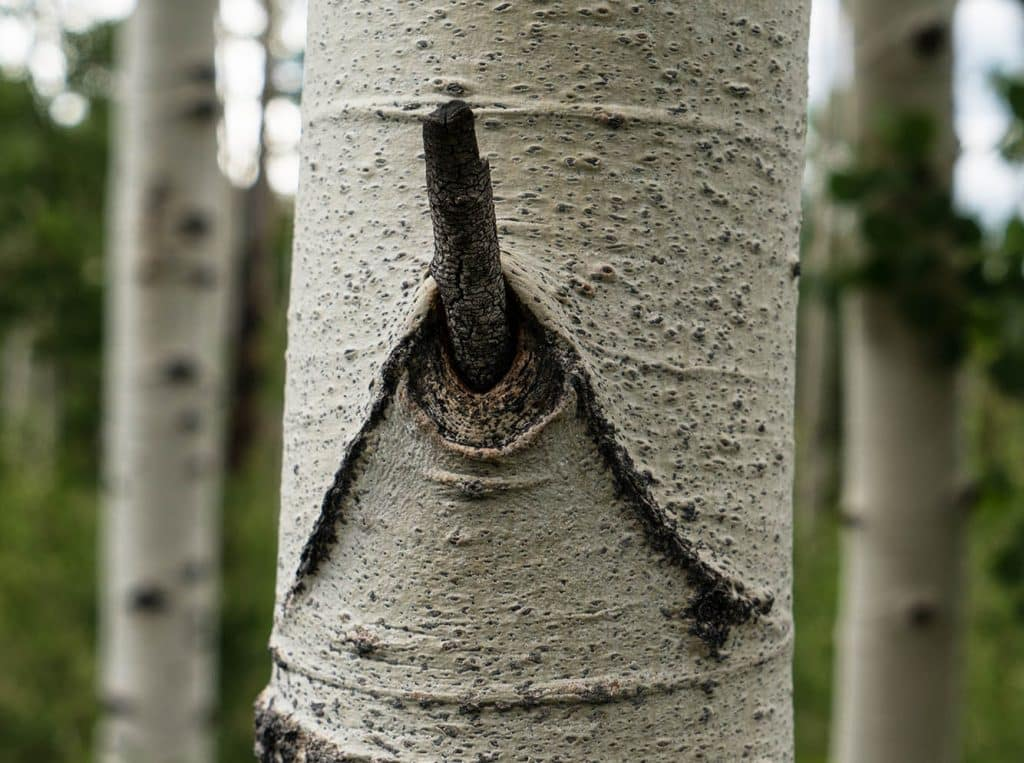 Image of the trunk of an aspen tree where one of the branches has broken off