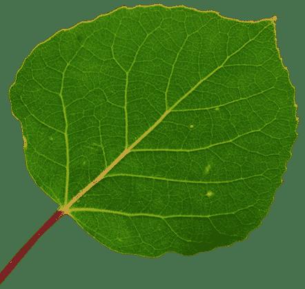 Green aspen leaf