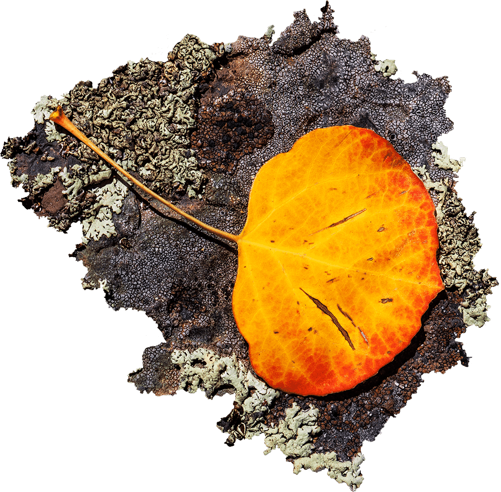 Yellow and red aspen leaf on gray lichen
