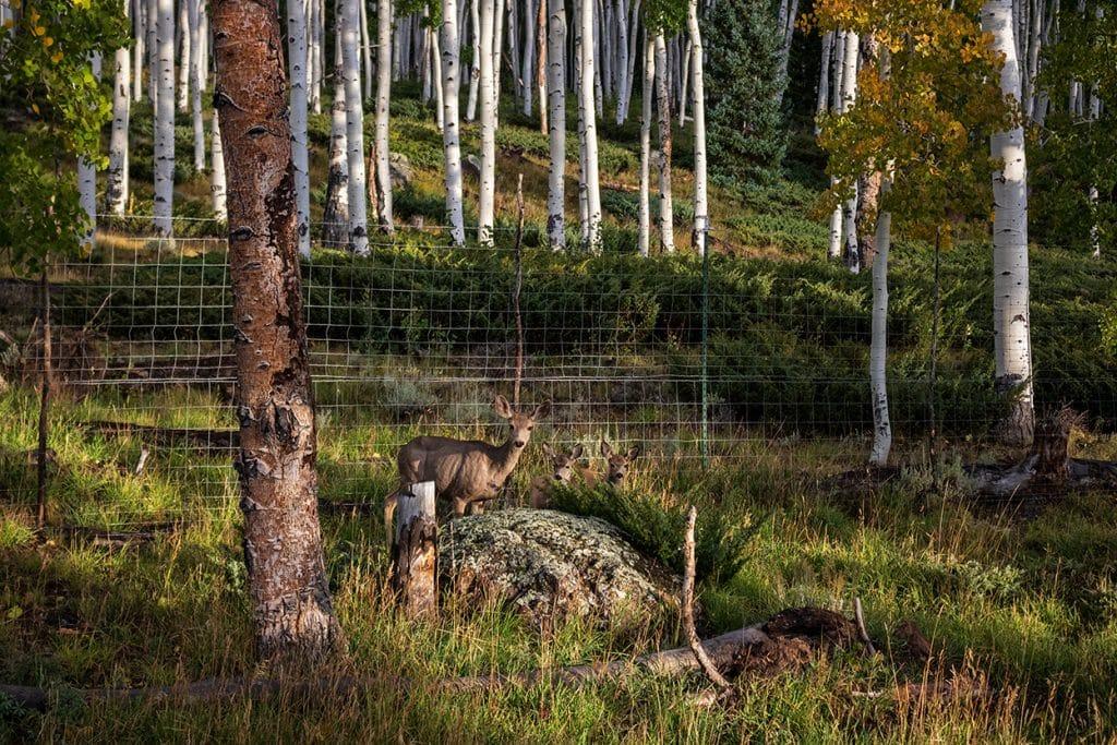 deer in pando